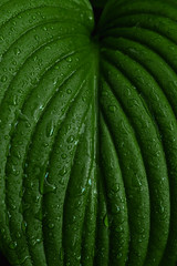 Fresh green leaf of lily and water drops after rain. Natural background