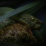 Rowley's Palm Pit Viper