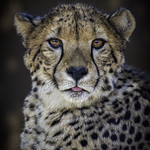 Cheetah Jabula with Tongue Tip