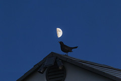Blackbird_MG_7733