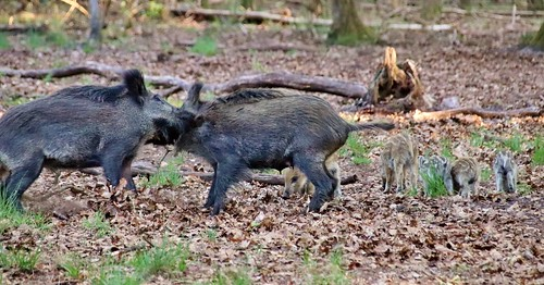 The little ones don't care - boars in Hoge Veluwe Nationalpark, Netherlands