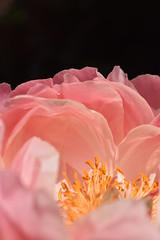 Flower - Peony
