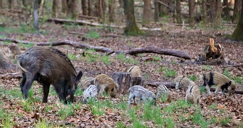 Boar with kids, Hoge Veluwe Nationalpark, Netherlands