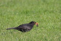 Male Blackbird with Maybug