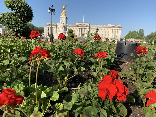 Sill life with geraniums and Buckingham Palace