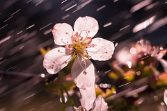 Cherry Rain