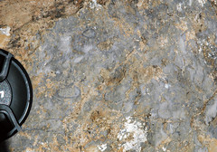 Archaeocyathan limestone (Fork Tree Limestone, Lower Cambrian; Old Sellicks Hill Road, Fleurieu Peninsula, South Australia) 1
