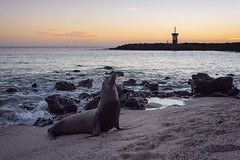 Sealion in Sunset