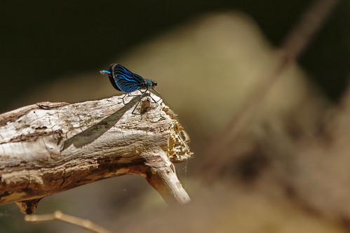Libellule bleue - Blue dragonfly