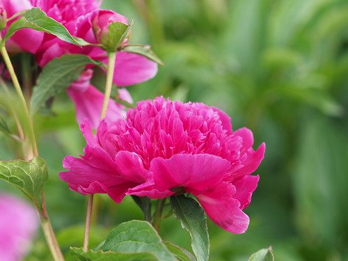 Pfingstrose - Pretty in Pink