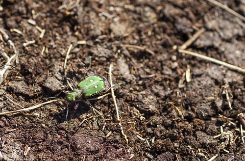 Green Tiger Beetle.