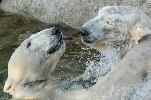 Polarbears Wildlands Emmen