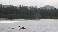 Grey Whale, Pacific Rim National Park, Tofino