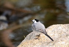 Wagtail on the stone