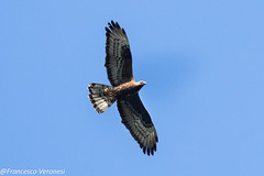 European Honey Buzzard - Trucazzano - Italy  CD5A2810