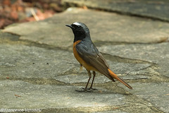 Common Redstart - Segrate - Italy CD5A2750