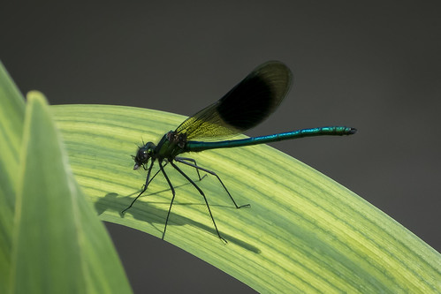 Banded Demoiselle dining out