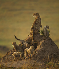 Mother Cheetah and six cubs on a termite mound - Masai Mara - Kenya_S4E2892