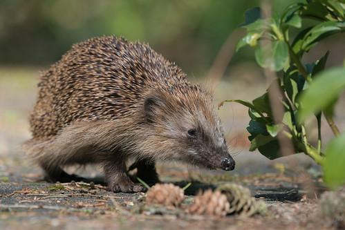 DSC01831 Egel, Hedgehog, Erinaceus europaeus.