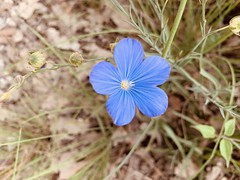 Une fleur de lin sauvage de garrigue.