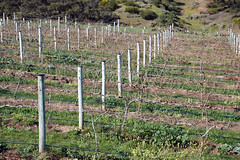Vitis sp. (vineyard at Sellicks Hill, South Australia) 1
