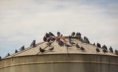 Pigeons on Silo