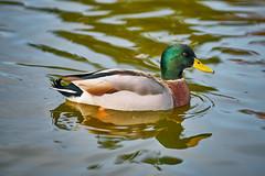 Lovely Mallard Duck