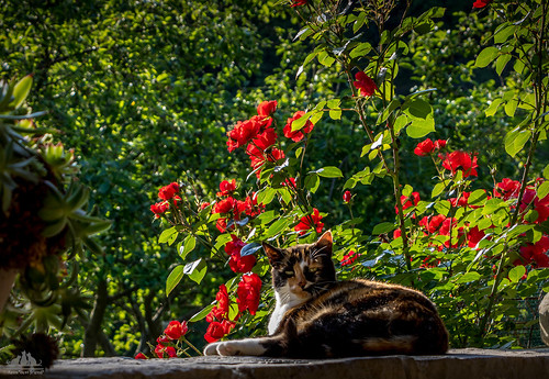 Shelly-Ann with Red Roses and Apple Tree ♣