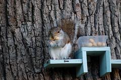 Grey Squirrel Eating His Nuts