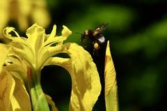 White-tailed bumblebee (Bombus lucorum) on an Iris
