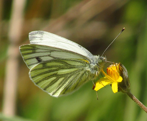 Green-veined White Butterfly (Pieris napi) 2020-05-14. Parc Slip, Aberkenfig, South Wales