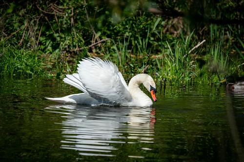 Mute Swan / Höcherschwan