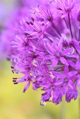 Flower - Allium