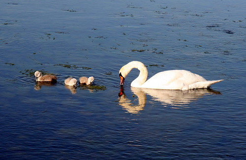 Pen and Cygnets