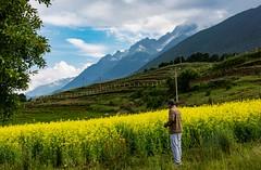 Canola in Yunnan