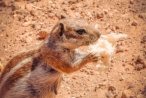 barbary ground squirrel eating