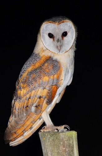 Coruja das torres / Barn owl