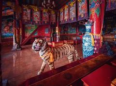Temple Tiger, Yunnan