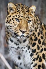 Pretty Amur leopard