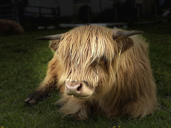 Highland coo relaxing IMG_1801