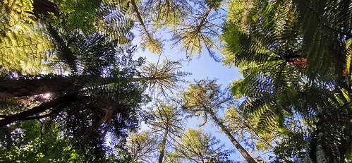 Redwoods Treewalk