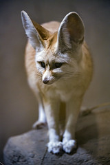Fennec on the stone