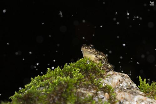 """Sapinho-de-verrugas-verdes-lusitanico, """"Lusitanic"""" parsley frog (Pelodytes atlanticus)"""