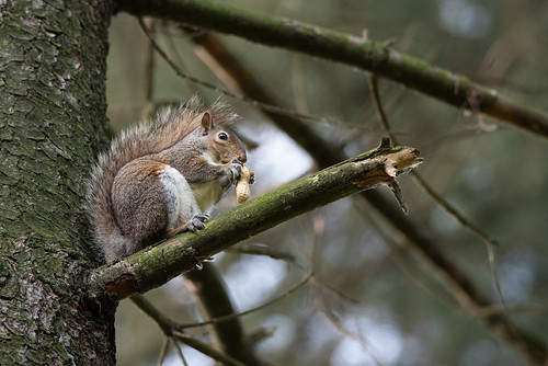 Gray squirrel eats a peanut perched on a tree branch