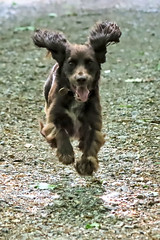 Spaniels can fly!