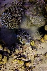 Puffer Fish #1