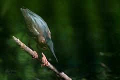 Wildwood Green Herons