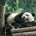 Panda vu en Chine.
