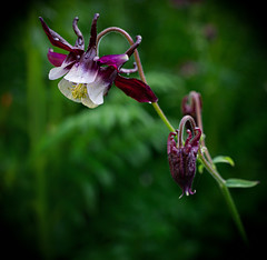 Lavenders, purples and blues #4: Columbine