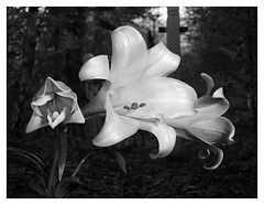 Backyard Lilies